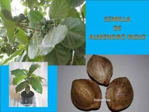 PACK 2 UDS SEMILLA ALMENDRO INDIO acuario gambario terminalia catappa hojas