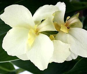 CANNA-WHITE-Canna-x-Generalis-50-Bulk-Seeds