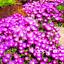 100-Pcs-Graines-Delosperma-cooperi-Table-Mountain-Plantes-Fleurs-Bonsai-RARE-2019 miniature 1
