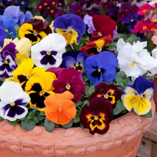 100 Violet Flowers Seeds Viola Pansy 7 Kind Beautiful Potted Balcony Plants Home