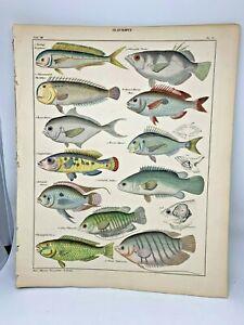 Antique-large-hand-colored-print-1843-Oken-039-s-Naturgeschichte-Plate-51-Fish