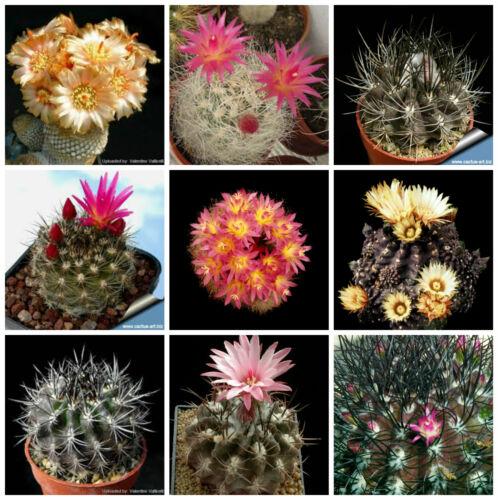 100 semi in miscuglio di Neoporteria mix piante grasse,seed cactus mix