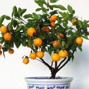 Am-KF-30-pcs-Delicious-Edible-Fruit-Mandarin-Citrus-Orange-Bonsai-Tree-Seeds-S