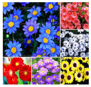Mix-African-Blue-Eyed-Daisy-100-Seeds-Flower-Heirloom-for-Flowering-Plants