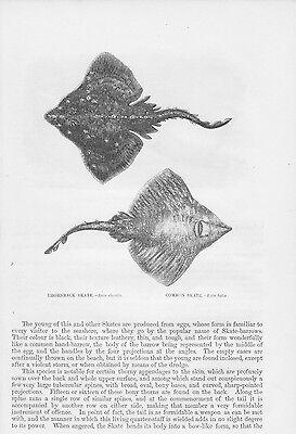 Mutig Stechrochen Nagelrochen Glattrochen Holzstich Von 1863 Stingray Thornback Ray Erfrischung