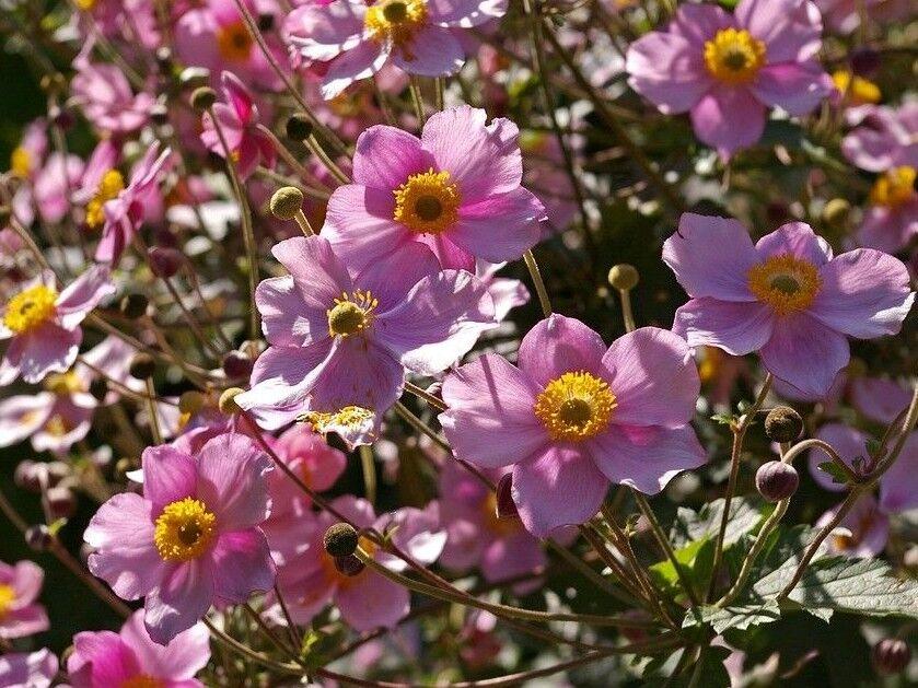 Anemone hupehensis /'Japanese Anemone/' 15 Seeds Japanese Windflower
