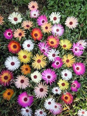 Flower - Mesembryanthemum Harlequin 7500 Seed - Large Packet