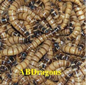 250 to 4,000 Medium Live Superworms Free Shipping!