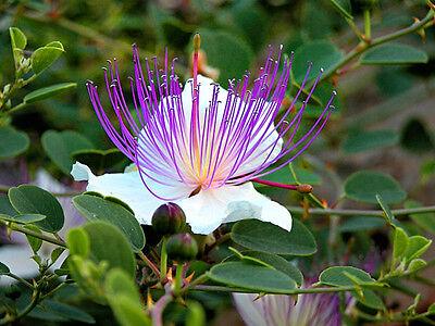 80+ Caper Seeds - Capparis Spinosa - Flinders rose - Herb- Organic  (80+ seeds )