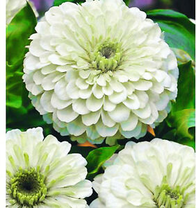 ZINNIA-DAHLIA-POLAR-BEAR-250-SEEDS-Zinnia-elegans-Large-double-flowers