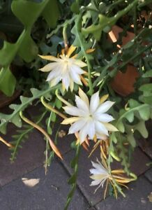 Epiphyllum-white-Orchid-Cactus-034-Young-Nun-034