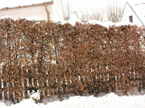 20 Native Hornbeam Hedging Plants 40-60cm Trees Hedge,2ft,Good For Wet Ground