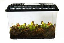 3 Live Adult Carnivorous Plants in Deluxe Terrarium: 3 Venus Fly Traps /Flytraps