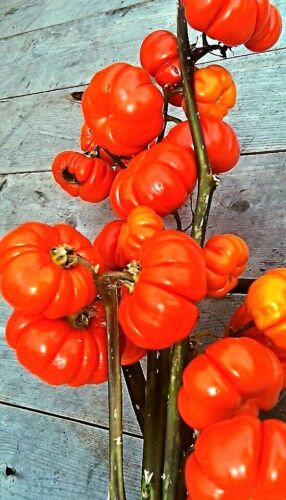 Pumpkin on a Stick Solanum aethiopicum Ethiopian Eggs Fruit Seeds
