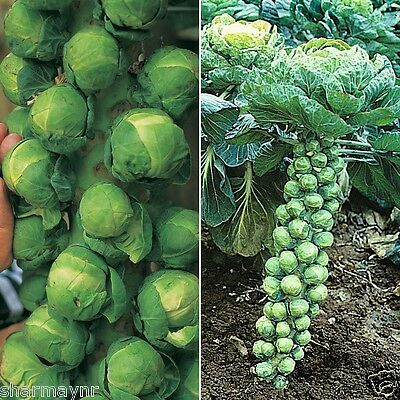 BRUSSELS SPROUTS  'Long Island' (VEGETABLE SEEDS)