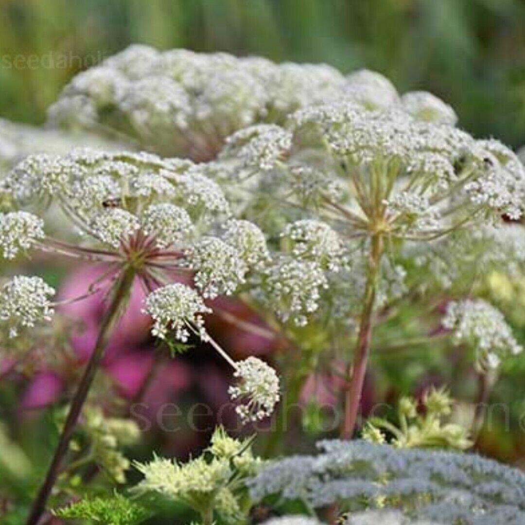 SELINUM WALLICHIANUM-25 seeds Hardy perennial