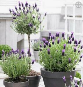 Butterfly-Lavender-Lavandula-Stoechas-Pedunculata-Perennial-Herb-50-Seeds