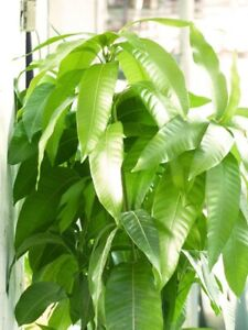 Mango-Tropical-Fruit-Tree-Plant