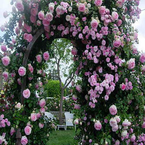 Buy 1 Get 1 15/% Off Pink Climbing Rose Seeds Flower Garden Plant Seedlings,