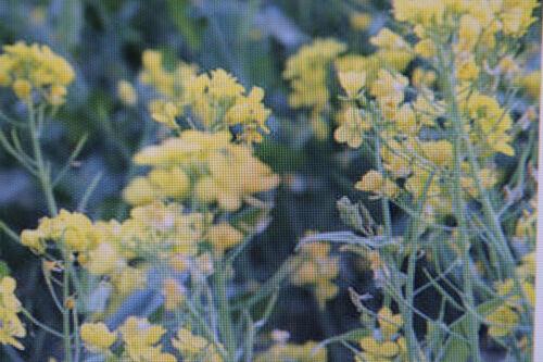 25 Samen brauner Senf Brassica juncea#712