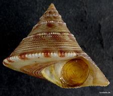 calliostoma formosense operculum 46 mm 200 m. tief