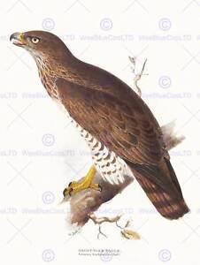 PAINTING-BIRDS-GOULD-LEAR-SHORT-TOED-EAGLE-12x16-039-039-ART-PRINT-POSTER-LAH552B