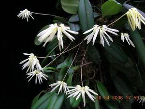 Rare-orchid-species-bloom-Bulbophyllum-Purpurascens