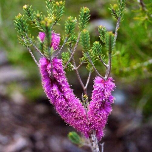 Melaleuca suberosa Cork Bark Honey Myrtle 20 seeds
