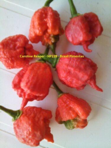 ISOLATED HP22B CAROLINA REAPER PEPPER FRESH SEEDS FROM BRAZIL PURE