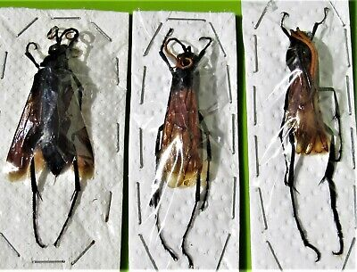 One Tarantula Hawk Wasp Pepsis Heros Medium Insect Taxidermy