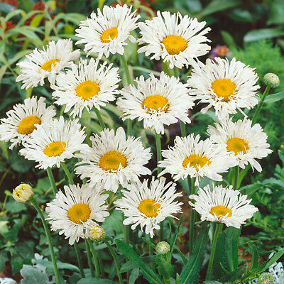 BOGO 50/% off SALE 100 seeds Shasta Daisy Chrysanthemum Maximum