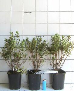 Rhododendron-impeditum-Wildform-kleiner-Bluetenzwerg
