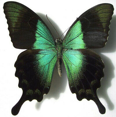 Emerald Swallowtail Butterfly Papilio palinurus daedalus Real Insect Spread or Folded Taxidermy