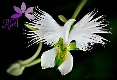 *RARE - EXOTIC* Japanese White Dove Egret Orchid Seeds Flower - 100 seeds