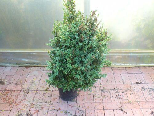 verschiedener Buchsbaum Pflanzen im Topf  Buxus Buchs Kegel Kugel Hecke Pyramide
