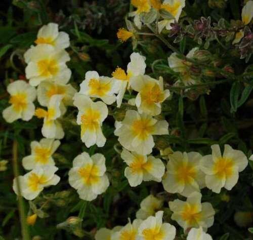 Helianthemum Cornish Queen-caputfelis
