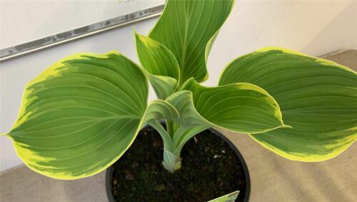 Hosta Sugar Daddy Plant in a 17cm pot Slug resistant blue Hosta