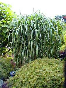 8 x riesenchinaschilf miscanthus giganteus ideal als sichtschutz und hecke ebay. Black Bedroom Furniture Sets. Home Design Ideas