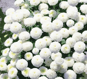 RARE-SNOW-BALL-FLOWER-750-seeds-Chrysanthemum-Tanacetum-parthenium