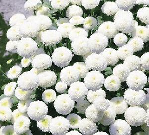 RARE-VARIETY-SNOWBALL-FLOWER-2000-seeds-Chrysanthemum-Tanacetum-parthenium