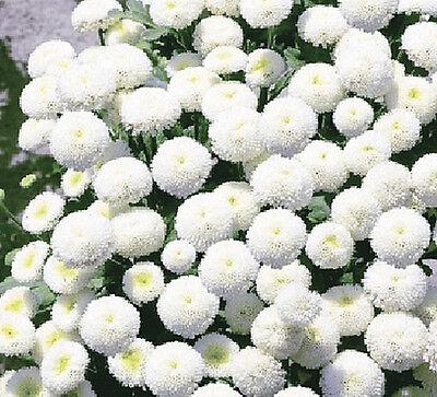 FREE P&P TEN PACKETS - SNOW BALL FLOWER Chrysanthemum parthenium 10x 750 seeds