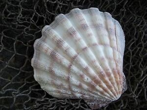 Sea Shell Soap Dish