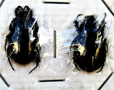 Uncommon Asian Scarab Beetle Dung Heliocopris bucephalus Pair FAST FROM USA