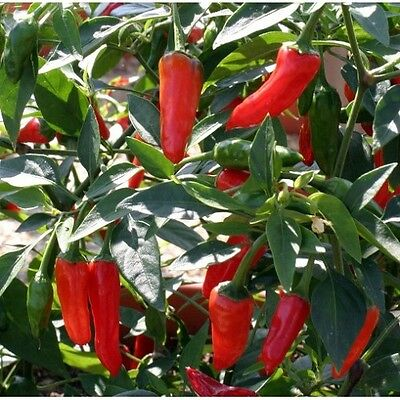 New Pack Kings Vegetable Seeds Dwarf Chilli Pepper 'Apache' Hot Peppers
