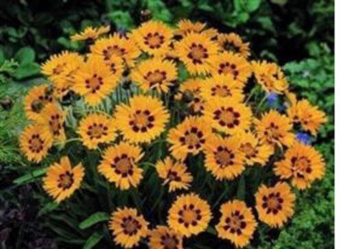 10 X   Coreopsis Sunfire  herbaceous MINI PLUG PLANTS FREE POSTAGE