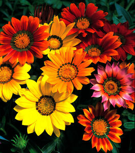 Gazania-Splendens-Sunshine-mix-Appx-120-seeds-Perennial