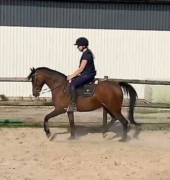 Dansk Sports Pony (DSP), vallak, 12 år
