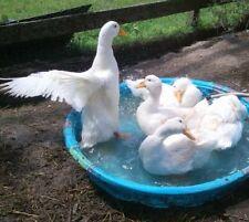 Six 6 Organically Raised Fertile Hatching Pekin Duck Eggs