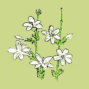Travelers Jasmine Organic Green Tea (China), loose/bulk from $3.50 (1 oz.)