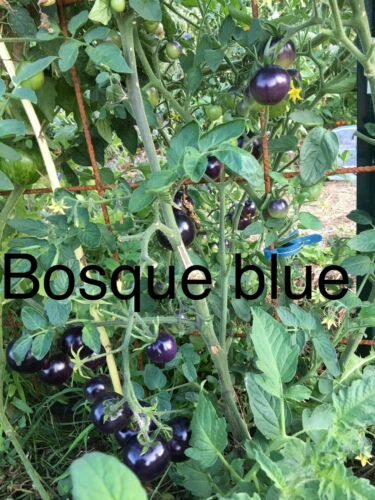 Bio Et Reproductible Graine Tomate Bosque Blue//osu Blue